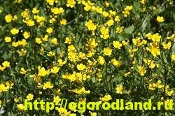Лютик (Ранункулюс). Выращивание, уход, применение 9