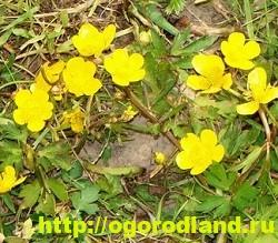Лютик (Ранункулюс). Выращивание, уход, применение 14