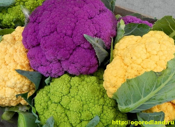 Цветная капуста. Полезные и лечебные свойства 10