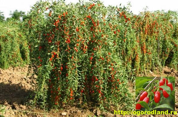 Ягоды Годжи (Дереза). Выращивание, уход и применение
