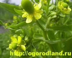 Лютик (Ранункулюс). Выращивание, уход, применение 12