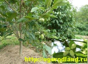 Азимина выращивание в средней полосе 34
