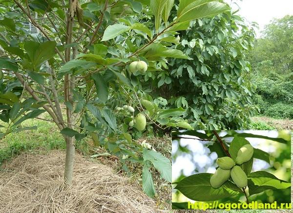 Азимина (Банановое дерево). Выращивание и уход
