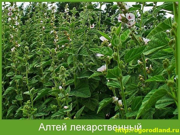 Алтей лекарственный. Выращивание и применение