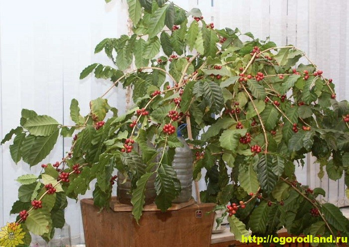 Кофейное дерево. Выращивание в домашних условиях