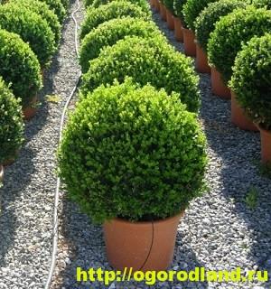 Самшит. Растение для фигурной стрижки. Выращивание и уход 2