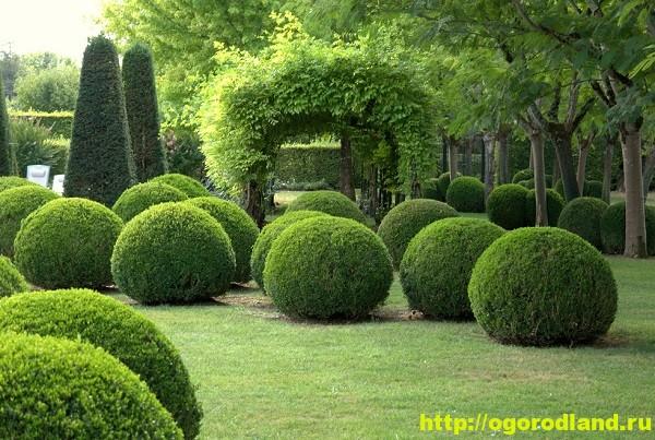 Самшит. Растение для фигурной стрижки. Выращивание и уход 1