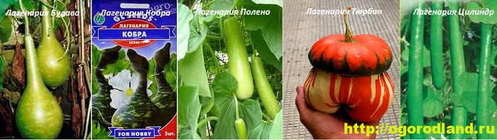 Лагенария. Выращивание и уход. Сорта лагенарии