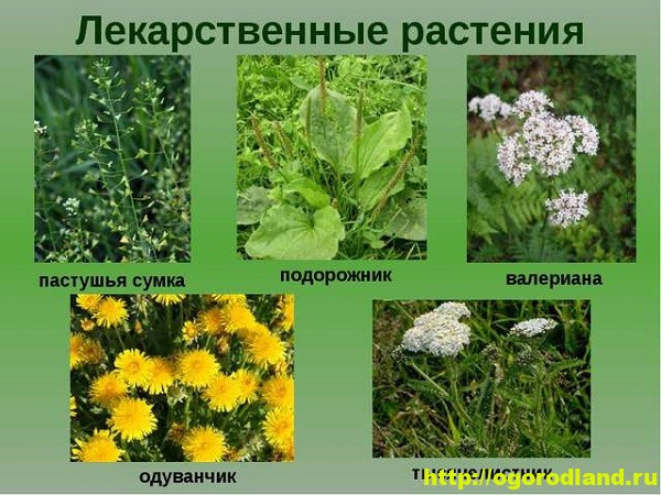 Уход за лекарственными растениями 1