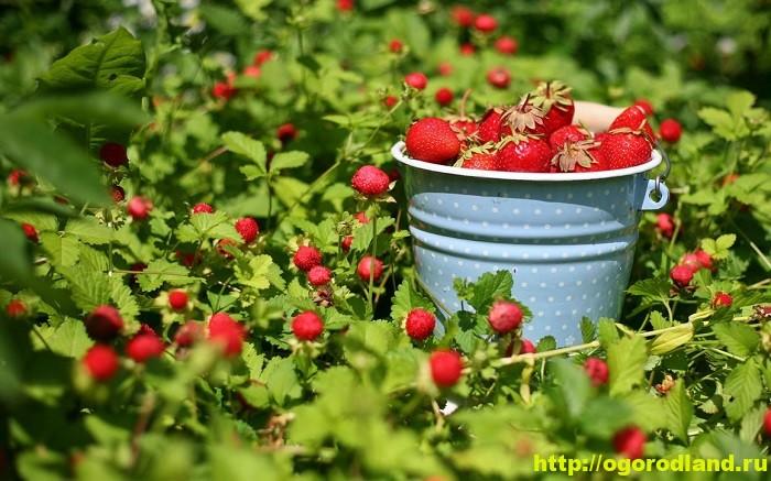 В какое время и как лучше сажать клубнику