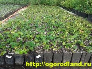 Ежевика (Черная малина). Выращивание и уход