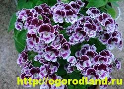 Разновидности герани (пеларгонии) – сорта и виды 12