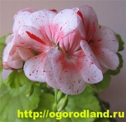 Разновидности герани (пеларгонии) – сорта и виды 9