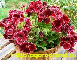Разновидности герани (пеларгонии) – сорта и виды 11