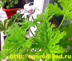 Разновидности герани (пеларгонии) – сорта и виды 16