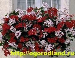Разновидности герани (пеларгонии) – сорта и виды 13