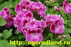 Разновидности герани (пеларгонии) – сорта и виды 15