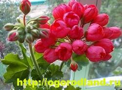 Разновидности герани (пеларгонии) – сорта и виды 5
