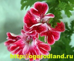 Разновидности герани (пеларгонии) – сорта и виды 14