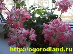 Разновидности герани (пеларгонии) – сорта и виды 8
