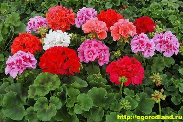 Герань (Пеларгония). Выращивание и уход дома и на улице