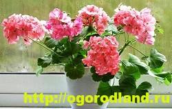 Разновидности герани (пеларгонии) – сорта и виды 4