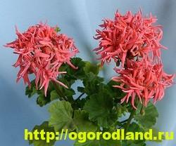 Разновидности герани (пеларгонии) – сорта и виды 7