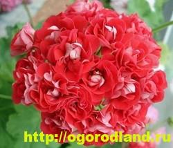 Разновидности герани (пеларгонии) – сорта и виды 6