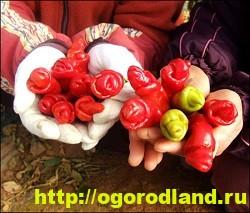 Сорта и виды декоративного перца 18