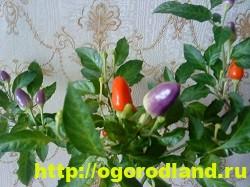 Сорта и виды декоративного перца 15