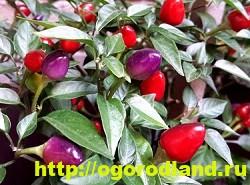 Сорта и виды декоративного перца 11