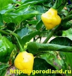 Сорта и виды декоративного перца 14