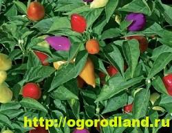 Сорта и виды декоративного перца 5