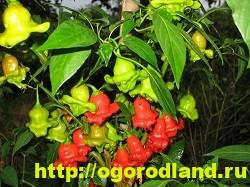 Сорта и виды декоративного перца 9