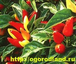 Сорта и виды декоративного перца 2