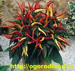 Сорта и виды декоративного перца