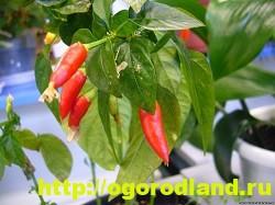 Сорта и виды декоративного перца 4