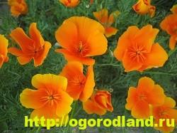Эшшольция. Выращивание и уход. Виды эшшольции 8