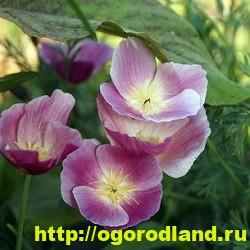Эшшольция. Выращивание и уход. Виды эшшольции 11
