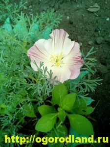 Эшшольция. Выращивание и уход. Виды эшшольции