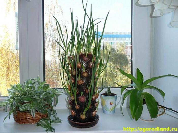 Выращивание зелени лука на подоконнике в домашних условиях