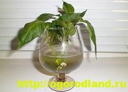 Декоративный (острый) перец в доме. Выращивание и уход