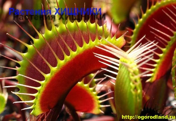 Растения-хищники. Выращиваем экзотические комнатные растения
