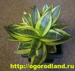 Сансевиерия (Щучий хвост) – неприхотливое комнатное растение 3