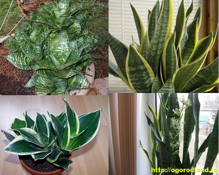 Сансевиерия (Щучий хвост) – неприхотливое комнатное растение 1