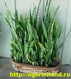 Сансевиерия (Щучий хвост) – неприхотливое комнатное растение