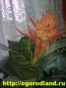 Сансевиерия (Щучий хвост) – неприхотливое комнатное растение 4