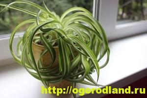 Хлорофитум. Выращивание, уход и размножение