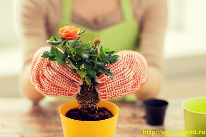 Пересадка комнатных растений. Технология и благоприятные дни