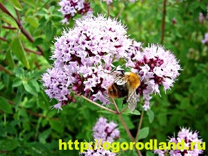 Выращивание лекарственных растений дома. Часть 2